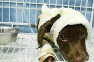 Va a juicio la muerte de Chocolate, el cachorro despellejado en Córdoba