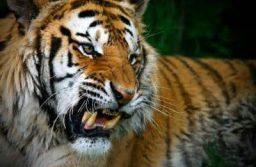 El rugido del Tigre Celestial