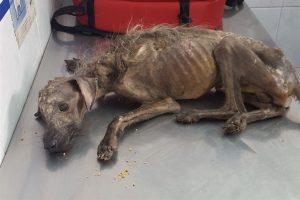 Hércules: el perro rescatado en Navidad que desafió un final anunciado