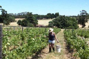 Tandil, con gran futuro vitivinícola