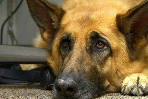"""Lograron descifrar por qué los perros hacen la """"mirada triste"""" que enternece a los humanos"""
