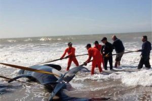 Siete orcas aparecieron varadas en La Caleta: salvaron a seis, una murió