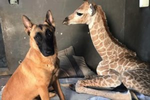 La tierna historia del perro que cuida a una jirafa bebé abandonada