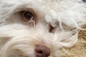 El perro que más se parece a un humano y es furor en las redes