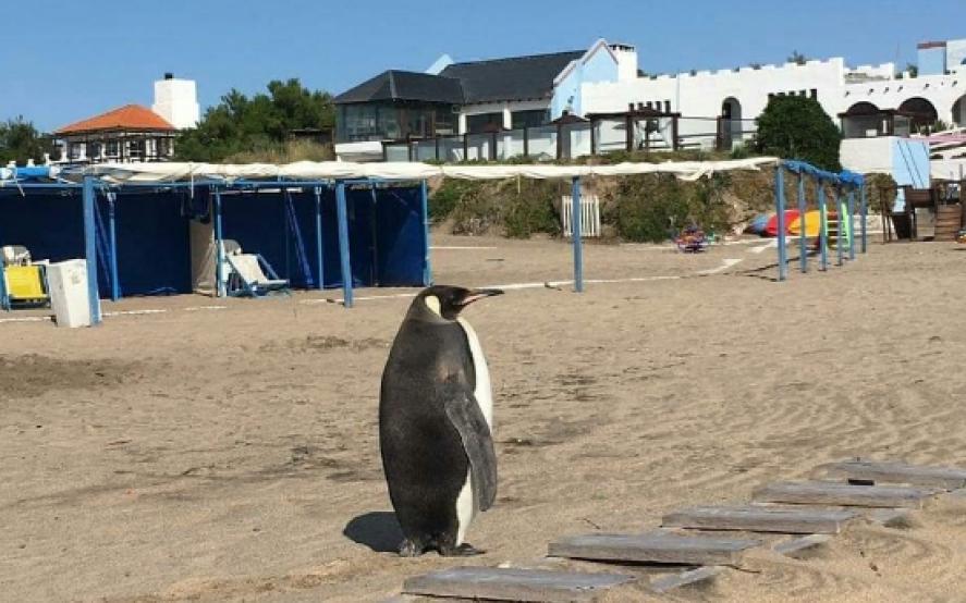 Sorpresa en Miramar: un pingüino salió del mar y llamó la atención de todos en la playa