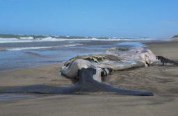 Necochea: Una ballena franca austral fue encontrada muerta en la playa